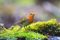 Ptak z pomarańczową piersią wśród lasowego greenery Obraz Stock