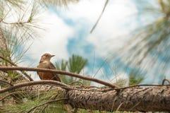 Ptak z pomarańczowym brzuchem między zieloną drzewną roślinnością Ptak umieszczający na gałąź patrzeje wokoło Obrazy Royalty Free