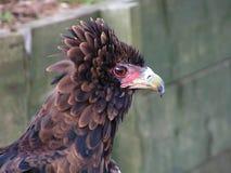 Ptak Zdobycz Zdjęcie Stock