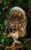 Ptak zdobycz Fotografia Royalty Free