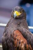 Ptak zdobycz Zdjęcia Stock
