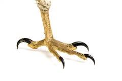 Ptak zdobycz łapa Fotografia Stock