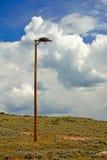 Ptak zdobycz Hawk& x27; s Falcon& x27; s Wyprostowywający mężczyzna Robić Gniazduje na słupie Fotografia Royalty Free