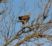 Ptak zdobycz na gałąź Zdjęcie Stock