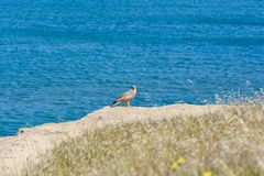 Ptak zdobycz na seashore Zdjęcia Stock