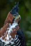 Ptak zdobycz (Ozdobny jastrzębia orzeł) Fotografia Stock
