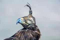 Ptak zdobycz, portret Złoty Eagle z sokolnictwo kapiszonem obraz royalty free