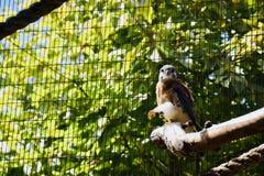 Ptak zdobycz przy Cheyenne góry zoo fotografia royalty free