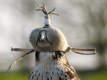 Ptak zdobycz w kapiszonie Zdjęcia Stock