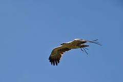 Ptak zdobycz w locie zdjęcia royalty free