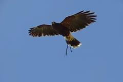 Ptak zdobycz w locie Zdjęcie Royalty Free