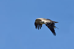 Ptak zdobycz w locie obrazy royalty free