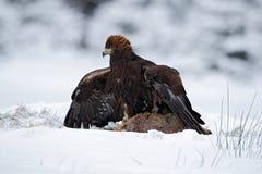 Ptak zdobycz Złoty Eagle z zwłoki zając w zimie z śniegiem zdjęcia royalty free