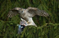 Ptak zdobycza jastrzębia zwłoki europejczyk Jay na zielonym świerkowym drzewie Obraz Royalty Free