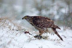 Ptak zdobycza jastrzębia zwłoki obsiadanie na śnieżnej łące z otwartymi skrzydłami i ptak, zamazany śnieżny las w tle Przyrody sc Obraz Royalty Free