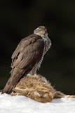 Ptak zdobycza jastrzębia zwłoki obsiadanie na śnieżnej łące z otwartymi skrzydłami i zając, zamazany ciemny las w tle Fotografia Stock