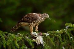 Ptak zdobycza jastrzębia zwłoki zielony dzięcioł na zielonym świerkowym drzewie Żywieniowa scena z ptakiem i chwytem Jastrząb na  Zdjęcia Royalty Free
