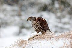 Ptak zdobycza jastrząb Zdjęcia Royalty Free