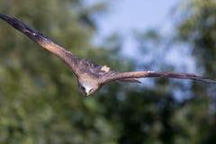 Ptak zdobycza napadanie Zwierzęcy polowanie Czerwona kania w wysokiej prędkości s fotografia stock