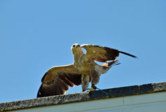 Ptak zdobycza obsiadanie na ścianie obraz royalty free