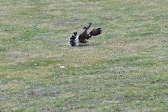 Ptak zdobycza polowanie dla jego ofiary na trawa drapieżczym ptaku obrazy royalty free