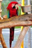 Ptak, zieleni ara Zdjęcie Stock