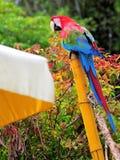 Ptak, zieleni ara na bambusowym słupie Zdjęcie Stock