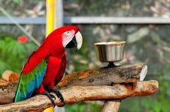 Ptak, zieleni ara na gałąź Zdjęcie Royalty Free