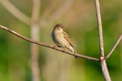 Ptaka śpiewającego błonie Rosefinch (Carpodacus erythrinus) femaleness obrazy stock
