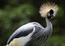 ptaka żuraw koronujący grey obrazy royalty free