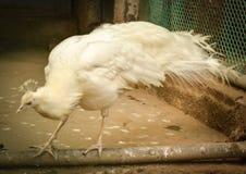 ptaka biel miły pawi rzadki Obraz Stock