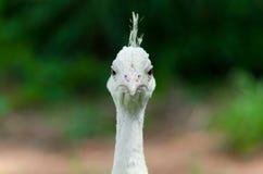 ptaka biel miły pawi rzadki Zdjęcia Stock