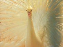 ptaka biel miły pawi rzadki Zdjęcie Stock