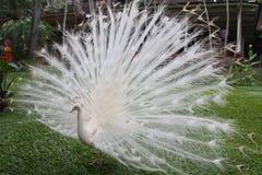 ptaka biel miły pawi rzadki Zdjęcie Royalty Free