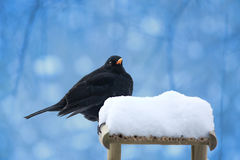 ptaka czerń Zdjęcie Stock