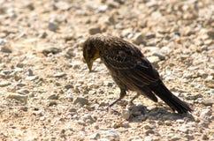 ptaka czerń Zdjęcia Stock
