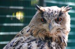 ptaka drapieżnego spojrzenie Obraz Royalty Free