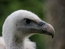 Ptaka drapieżnego spojrzenie Obraz Stock