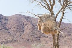 Ptaka gniazdeczka zakończenie up na Akacjowym drzewie w namib pustyni, Namib naukluft park narodowy, Namibia, Afryka zdjęcia royalty free