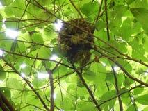 Ptaka gniazdeczko w hazelnut krzaku obraz royalty free
