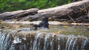 Ptaka kąpielowy pić z wodnym chełbotaniem od siklawy zwolnionego tempa zbiory