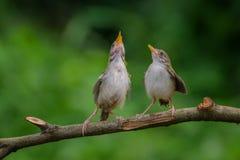 ptaka karcianego powitania ilustracyjnego miejsca śpiewacki teksta wektor twój Obraz Stock