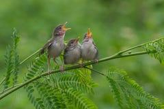 ptaka karcianego powitania ilustracyjnego miejsca śpiewacki teksta wektor twój Zdjęcie Royalty Free