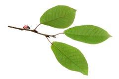 ptaka ladybird gałęziasty czereśniowy Obraz Royalty Free