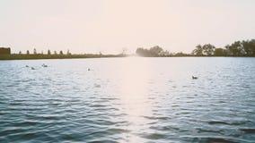 Ptaka pływanie przy zmierzchem w jeziorze zbiory wideo