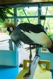 Ptaka Popielaty Koronowany żuraw w zoo Obraz Stock