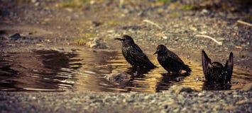 Ptaka skąpanie obraz royalty free