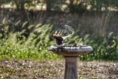 Ptaka skąpanie Zdjęcia Stock