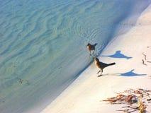 Ptaka spacer na brzeg linii Obraz Royalty Free