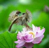 Ptaka taniec Obrazy Royalty Free